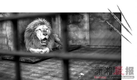 狮子修指甲,动物园出动近 10人