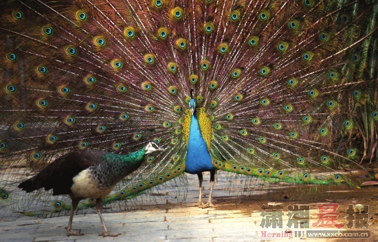 长沙生态动物园,雄孔雀展开尾屏吸引从旁走过的雌