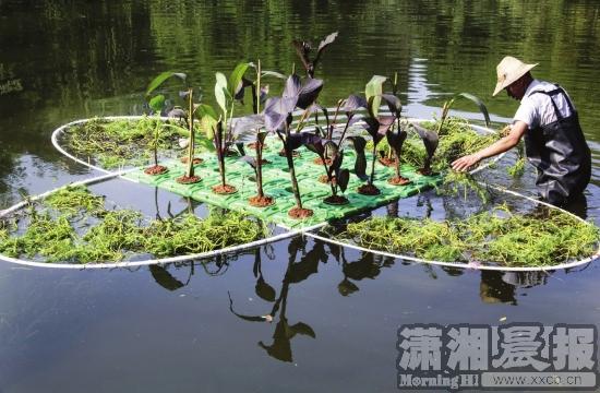 本报长沙讯随着温度的不断升高,蓝藻也进入到了生长活跃期。7月13日,记者来到桂花公园,公园内目前正在开展还碧于水生态还原工程,通过构建水中生态系统,来控制公园水塘蓝藻问题。 13日上午,桂花公园水塘里,两名工作人员穿着防水的衣服正在捞水底的树叶和垃圾。水整体呈现绿色,有些地方还呈现黑色,水面上还漂浮着少量的绿色漂浮物。工作人员走过的地方,水底的淤泥泛了起来,水立马变成了黑色。站在水边还能隐约闻到轻微的异味。水塘里有一些绿色的植物,整齐成条排列。 现场一位姓罗的工作人员介绍,从今年6月份开始,湖南碧清水环