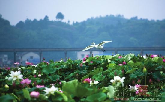 花石镇湘莲万亩荷花盛开,大群白鹭天空翱翔,丹霞地貌的十八罗汉山遥