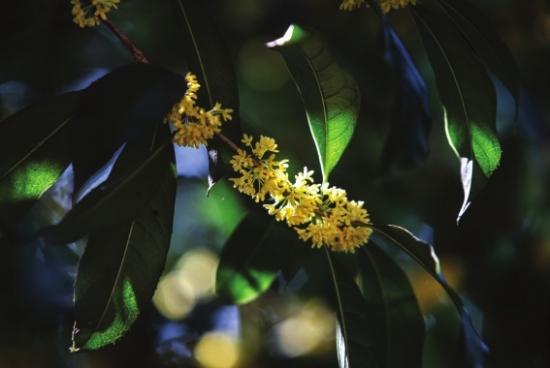 长沙城内桂花盛开桂花公园,省植物园都可赏花