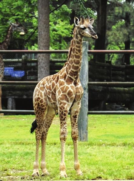 4月20日,长沙生态动物园,90厘米高的羊驼和2.