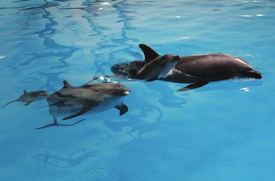本报长沙讯 炎热的夏天,长沙海底世界喜事连连。继7月12日18时30分海豚丽莎产下一头雄性小海豚后,7月22日,海豚琳娜赛又产下一头雌性小海豚。这一月二喜让已经拥有六头成年海豚的海底世界,成为中南地区名副其实的海豚大家族。 两头小海豚长约30厘米,体重20公斤,目前都能贴着母体边游泳边吃奶。海底世界海洋馆兽医王微介绍,两头小海豚随两头母海豚穿梭于海洋剧场和海底视窗之间,饲养员给两头母海豚喂食的时候,两头小海豚就围绕两头母海豚团团转。 王微介绍,不论是游玩还是进食时,两个母亲不会认错自己的孩子